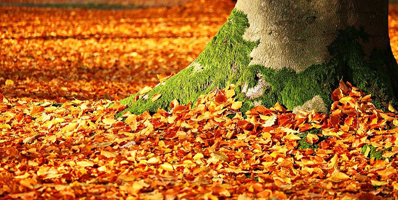 Autumn Leaves Make a Cheap Mulch for Your Landscaping